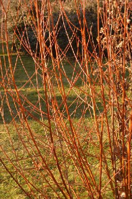 Red Stemmed Willows