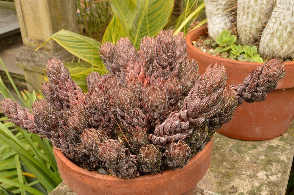 Haworthiopsis