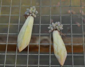 Echeveria leaves