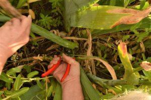 cutting Iris stalks